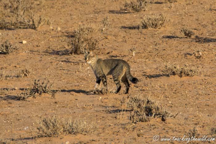 African Wildcat in Kgalagadi Transfronteir Park
