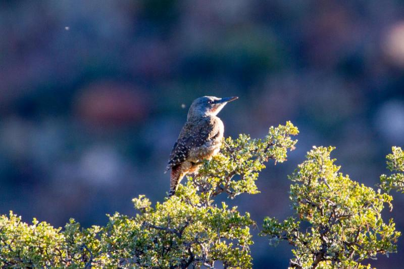 Ground Woodpecker, Karoo National Park