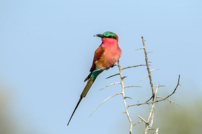 Carmine Bee-eater - Nkasa Rupara National Park