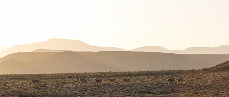 Eland, Karoo National Park