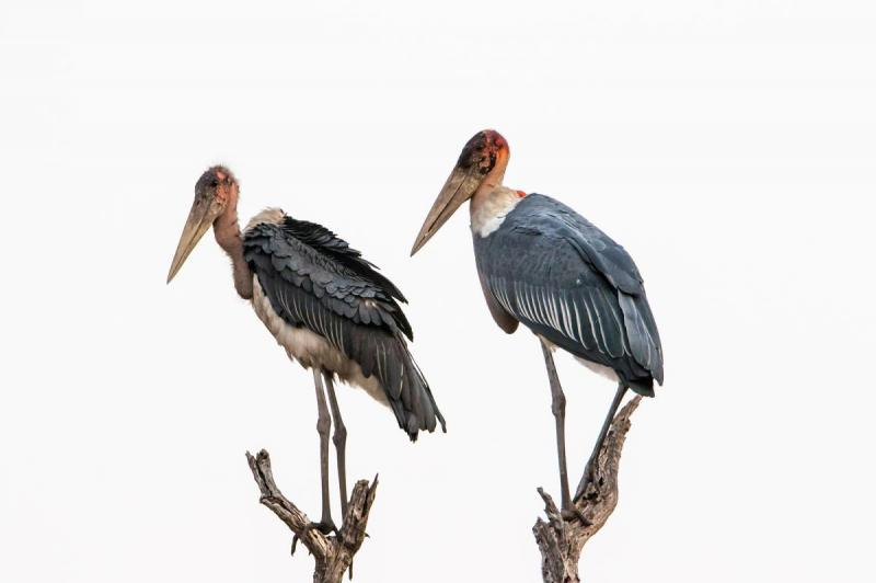 Marabou Stork, the 'Adams Family' of the bird world,Nkasa Rupara National Park