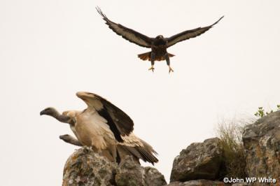De-Hoop-Vulture-Jackal-Buzzard.jpg