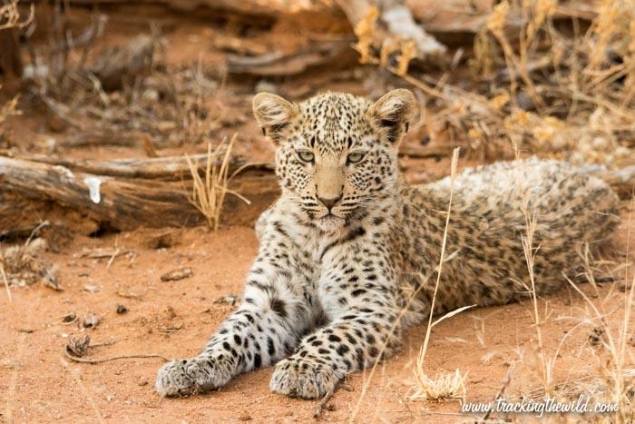 Electra's Leopard Cub