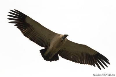 De-Hoop-Vulture-Underneath.jpg