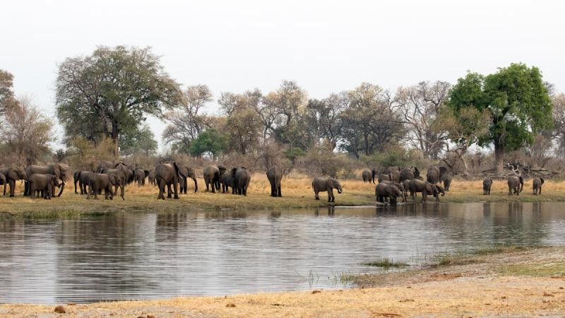 Herd of elephant on Kwando River, Bwabwata National Park