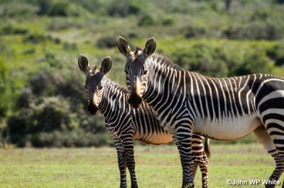 De-Hoop-Zebra.jpg