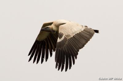 De-Hoop-Vulture-Wings-Down.jpg