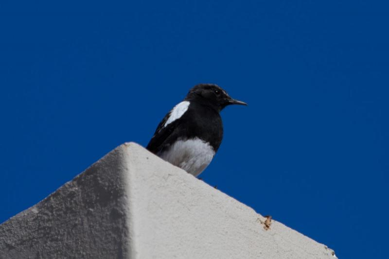 Mountain Wheatear, Karoo National Park
