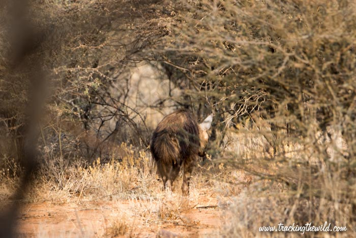 Brown Hyaena Okonjima Nature Reserve