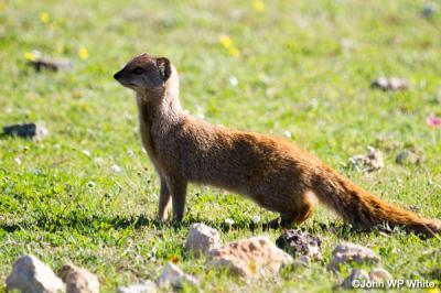 De-Hoop-Mongoose.jpg