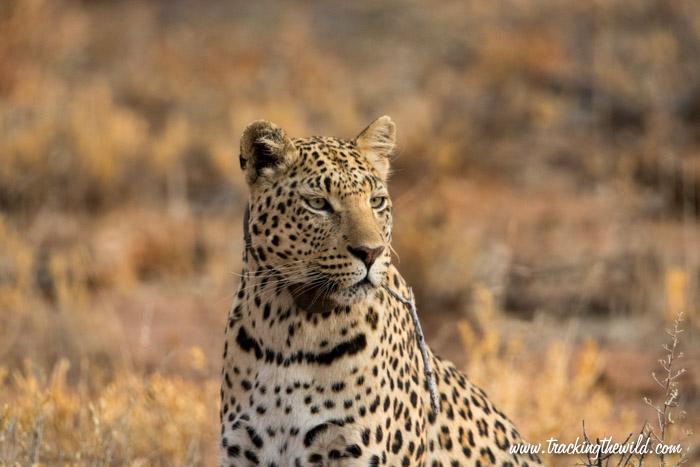 Female leopard named Electra