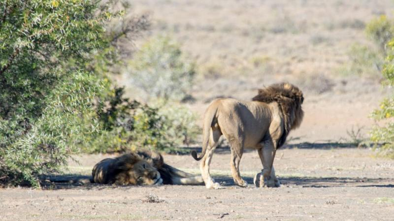 The two male lions, Karoo National Park