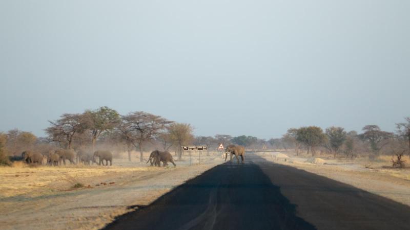 Elephants crossing the C49 - Mudumu National Park, Namibia