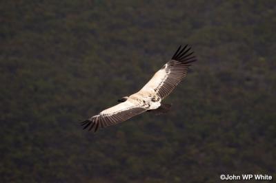 De-Hoop-Vulture-Flyby.jpg