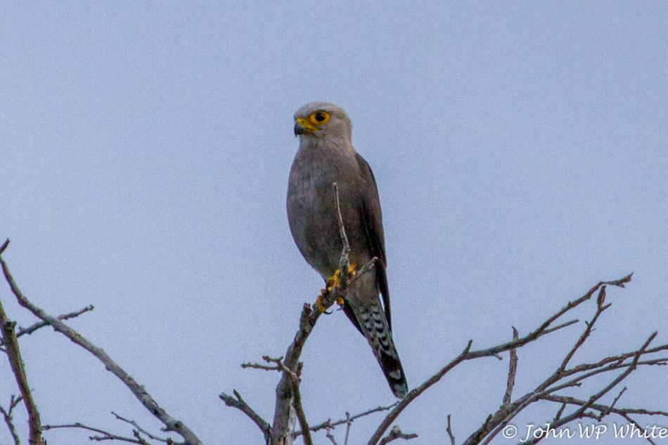 Dickenson's Kestrel in the North of Kruger National Park