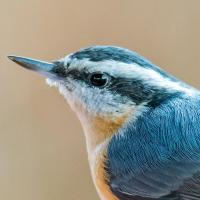 Noble Nuthatch