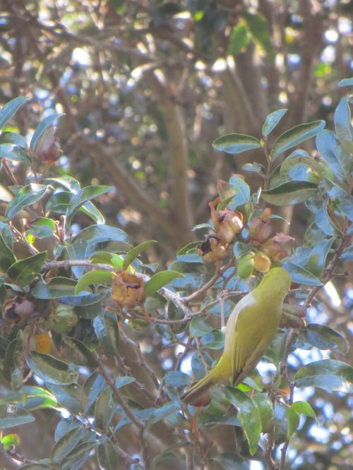 Cape Canary