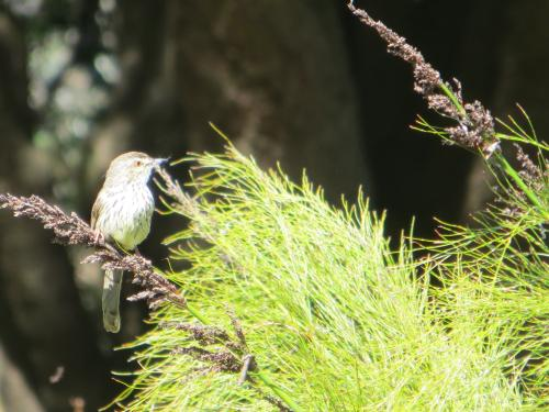 Karoo Prinia