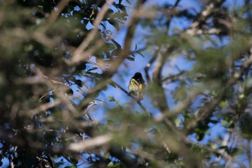 Yellow-rumped Tinkerbird