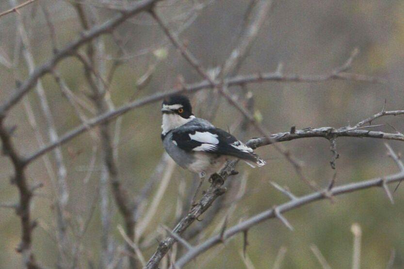 White-tailed Shrike in Okonjima Nature Reserve