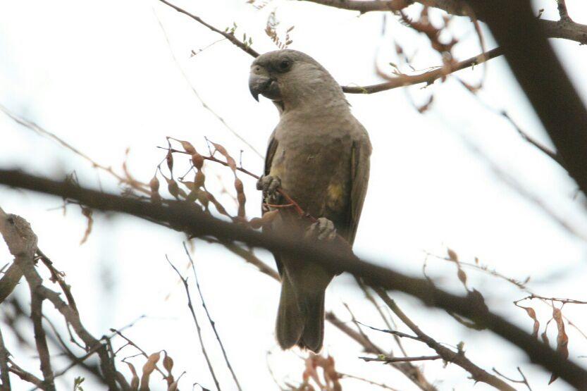 Rüppell's Parrot in Okonjima Nature Reserve