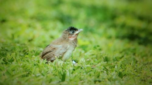 Juvenile Bulbul Chick