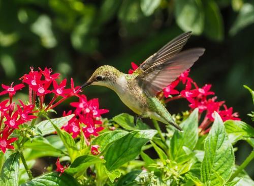 Ruby-throated humming bird 2