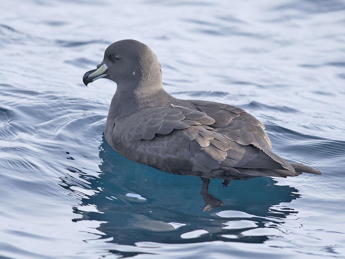 Westland Petrel » Eaglehawk Neck Pelagics 28th and 29th