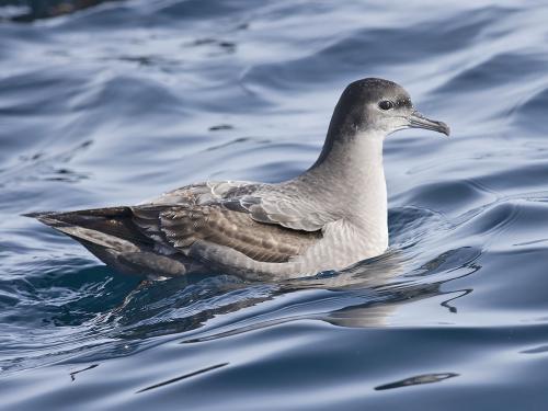 Short-tailed Shearwater