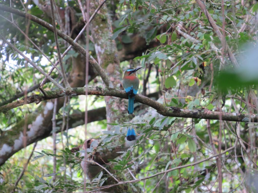 Turquoise -browed Motmot