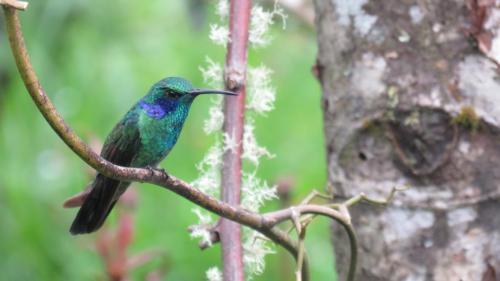GREEN VIOLETEAR - Colibri cyanotus