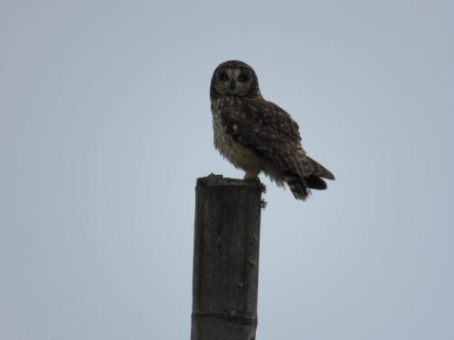 Short-eared Owl - Asio flammeus bogotensis