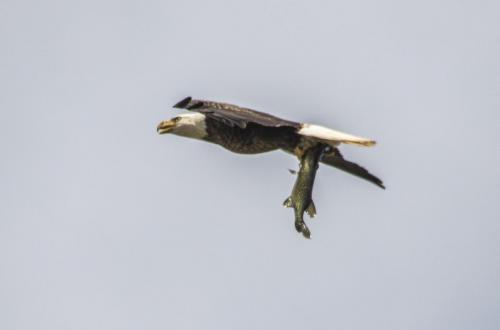 bald-eagle-the-fish--the-osprey_38507533276_o