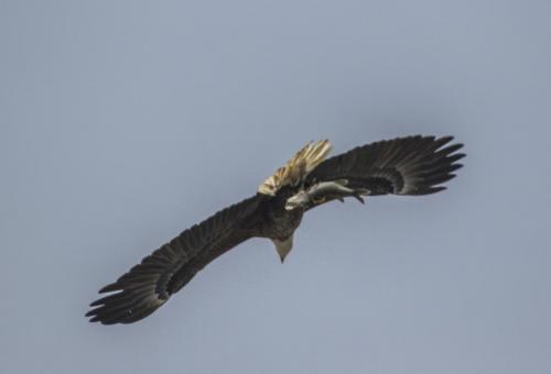 bald-eagle-the-fish--the-osprey_37847102094_o