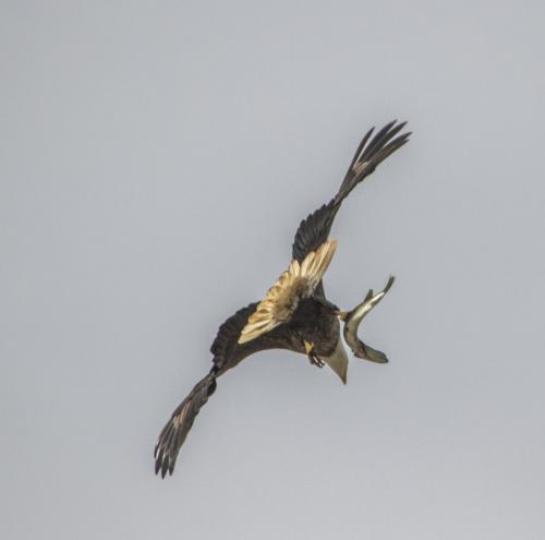 bald-eagle-the-fish--the-osprey_38564039171_o