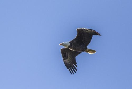 bald-eagle-the-fish--the-osprey_38564037371_o