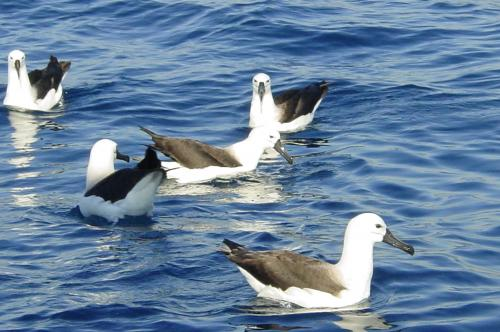 Indian Yellow-nosed Albatross