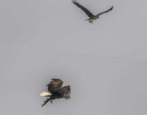 bald-eagle-the-fish--the-osprey_38564045351_o