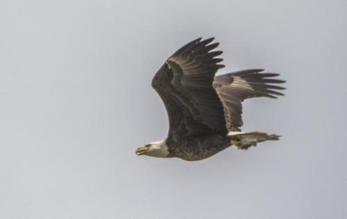 bald-eagle-the-fish--the-osprey_38507533066_o