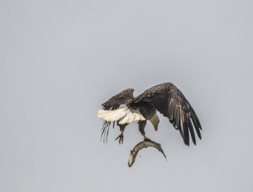 bald-eagle-the-fish--the-osprey_38564039591_o