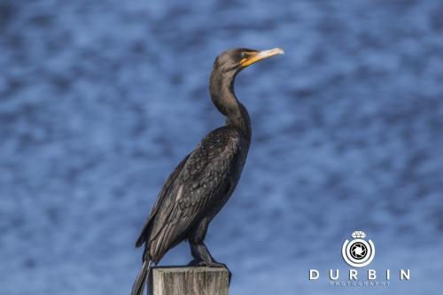 cormorant_38529324861_o