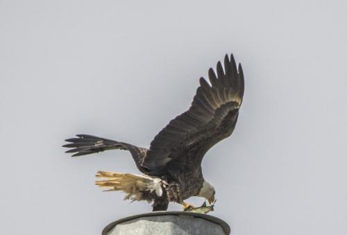 bald-eagle-the-fish--the-osprey_38564039971_o