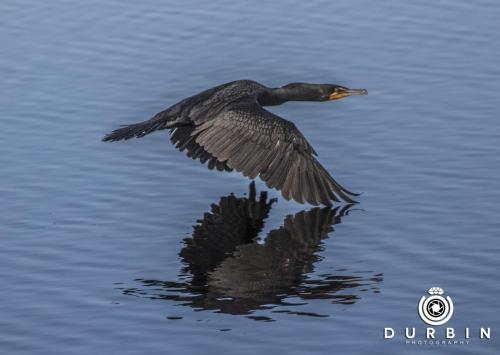 cormorant_38473872726_o