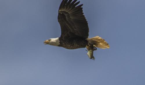 bald-eagle-the-fish--the-osprey_38507533546_o
