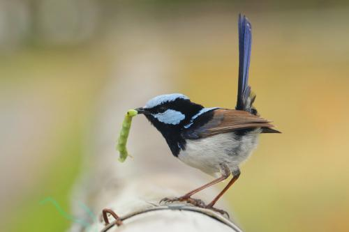 Superb Fairywren with a snack