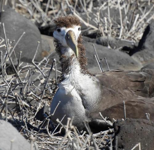 Albatross chick 1