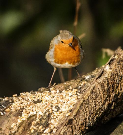 Robin (1)