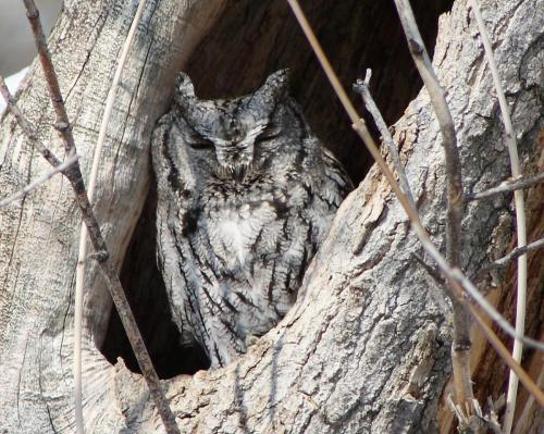Western Screech-Owl 18