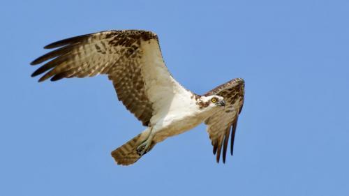 Osprey (adult male)