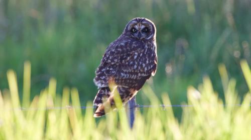 Pueo (Short-eared Owl)